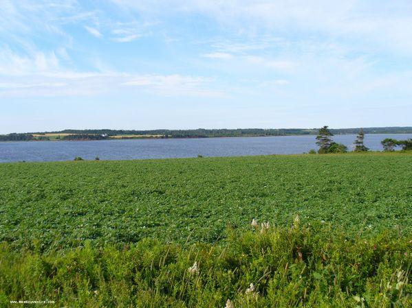 Un champ de pomme de terre