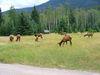 Wapitis sur le camping Whistler's à Jasper - Alberta