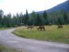 Wapitis sur le camping Whistlers à Jasper - Alberta